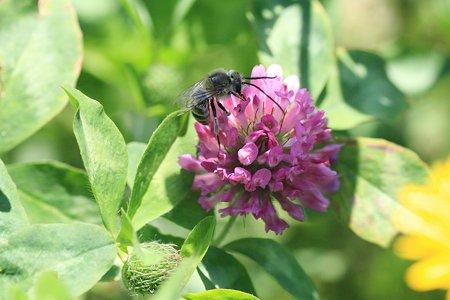 2012.05.23 和泉川 アカツメクサにヒゲナガバチ