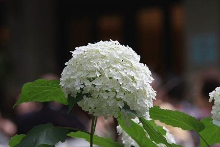 2009.06.27 日比谷公園 紫陽花