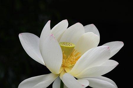 2009.07.19 極楽寺 蓮