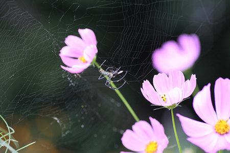 2009.09.23 和泉川 コスモスの陰で女郎蜘蛛の狩