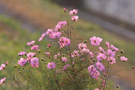 2009.10.31 鶴見川 コスモス