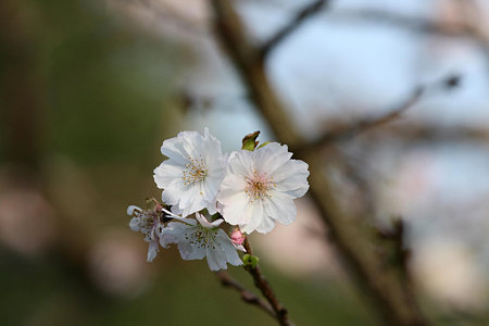 2009.10.31 四季の森 冬桜