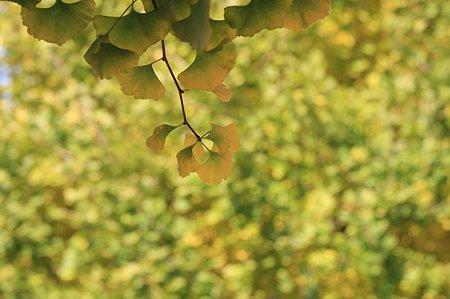 2010.12.01 大池公園への道 銀杏