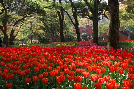 2011.04.15 横浜公園 チューリップまつり