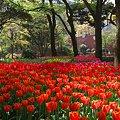 Photos: 2011.04.15 横浜公園 チューリップまつり