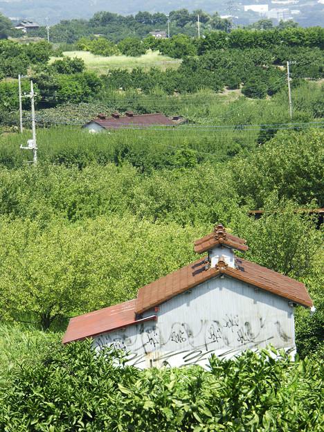 みかん山の晩夏:2007_0908_0108