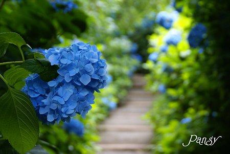 明月院ブルー・・1