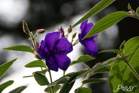 透ける紫・・ のぼたん
