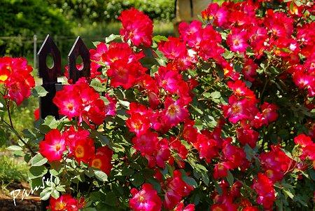 rose garden..16