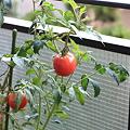 20090801 トマト