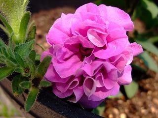2009_0614庭の花0002
