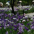 Photos: 雨の花菖蒲園、明月院!(6/6)