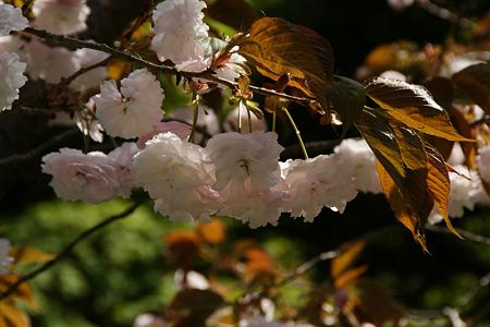 八重桜110417-863