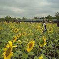 Photos: 【タイ】ひまわり列車|Sunflower Train 2008 [10]|ひまわり列車
