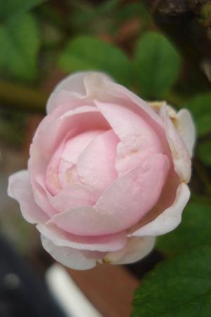 蕾もほんのりピンク(⌒~⌒)