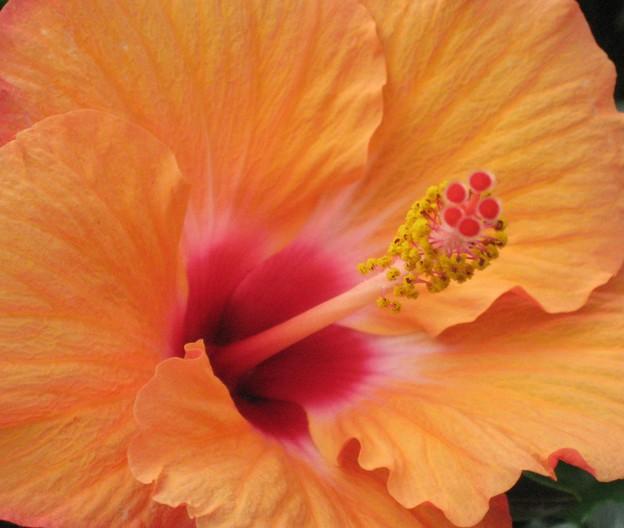 初夏に咲く、オレンジ色のハイビスカス