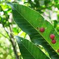 写真: ドングリの葉に