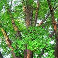 Photos: イチョウの大樹