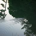 夕暮れにヘビ渡る in やつが池