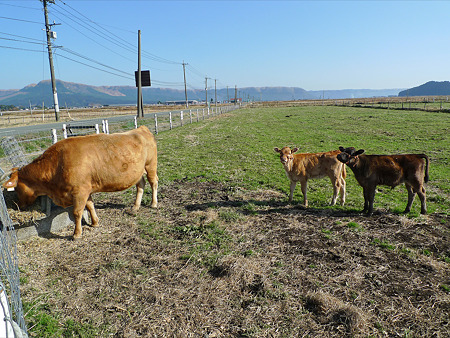 阿蘇市の牛ちゃん。子牛の兄弟がキュート♪(1)