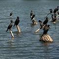 写真: スリランカ紀行-Kandy Lakeの鳥たち