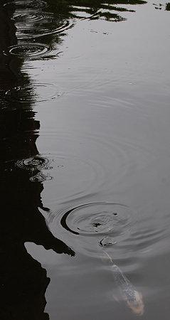 鯉と水滴のリズム