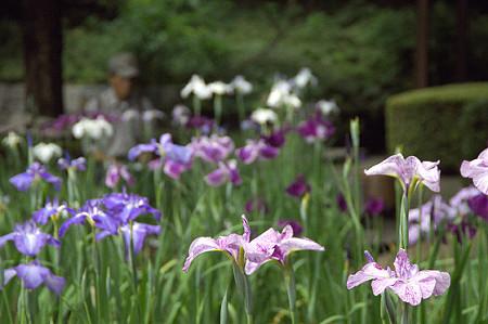 子ども植物園の花菖蒲 03