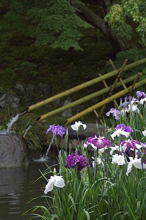 長谷寺の花菖蒲 03