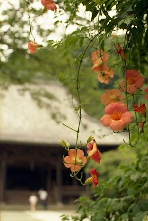 妙本寺のノウゼンカズラ01