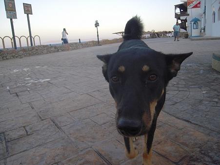 ダハブの犬